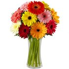 Dazzling Combination of Mixed Gerberas in a Glass Vase