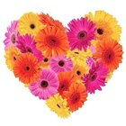 Frisky Feelings Gerberas Premium Heart Shaped Arrangement