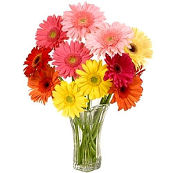 Colorful Gerberas display in Glass Vase
